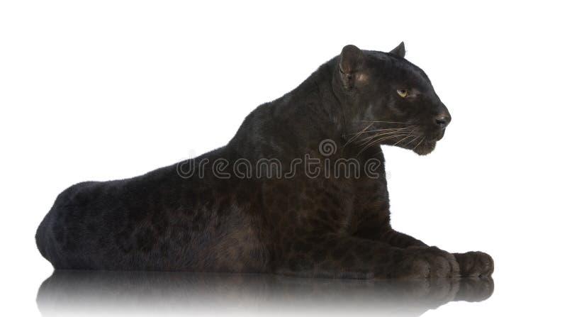 Leopardo negro (6 años) imagen de archivo libre de regalías