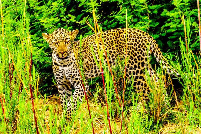 Leopardo nell'alta erba lungo il fiume di Olifant nel parco nazionale di Kruger immagini stock libere da diritti