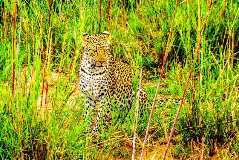 Leopardo nell'alta erba lungo il fiume di Olifant nel parco nazionale di Kruger fotografie stock libere da diritti