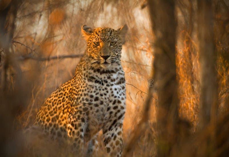 Leopardo no parque nacional de Kruger imagem de stock