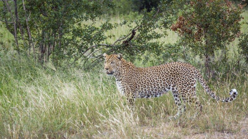 Leopardo no parque nacional de Kruger, ?frica do Sul fotos de stock