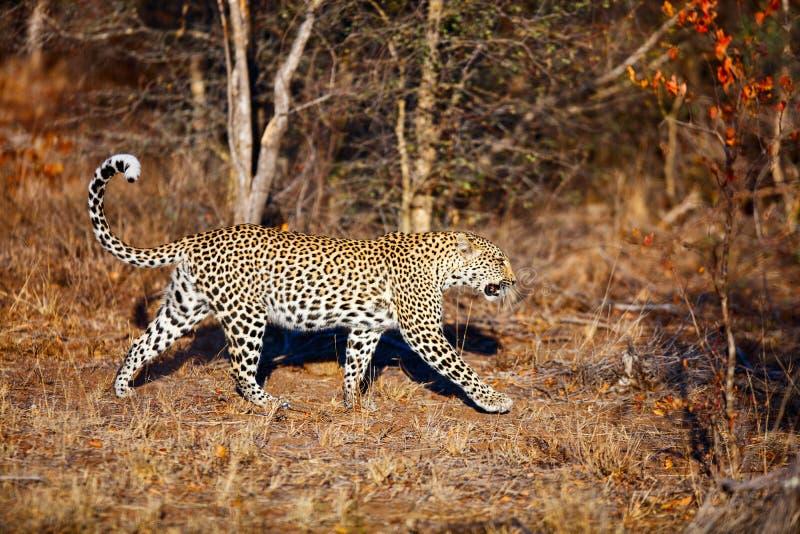 Leopardo novo foto de stock