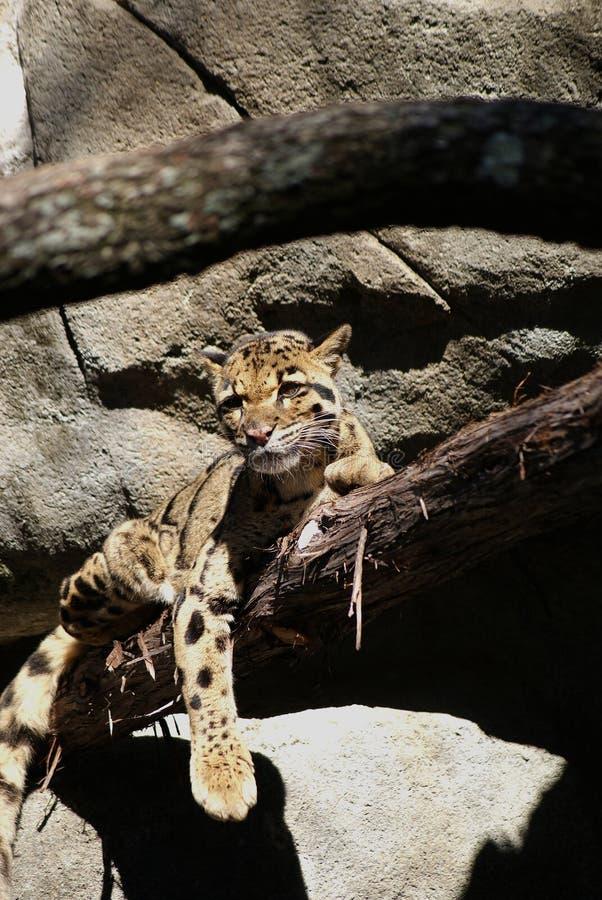 Leopardo nublado imagens de stock