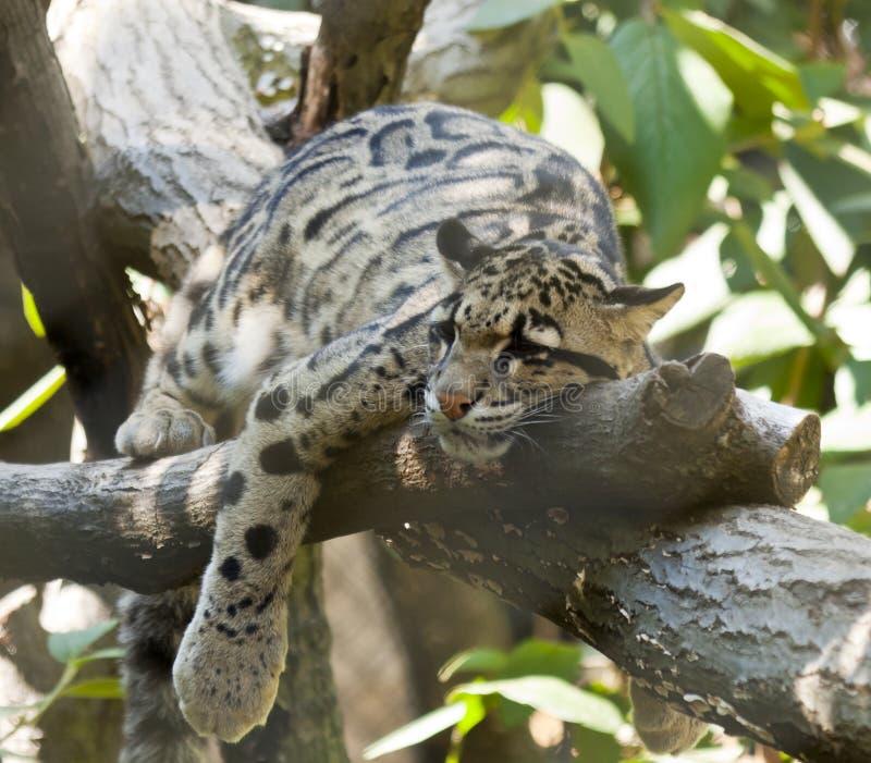 Leopardo nublado foto de stock