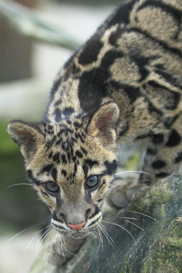 Leopardo nublado fotografia de stock