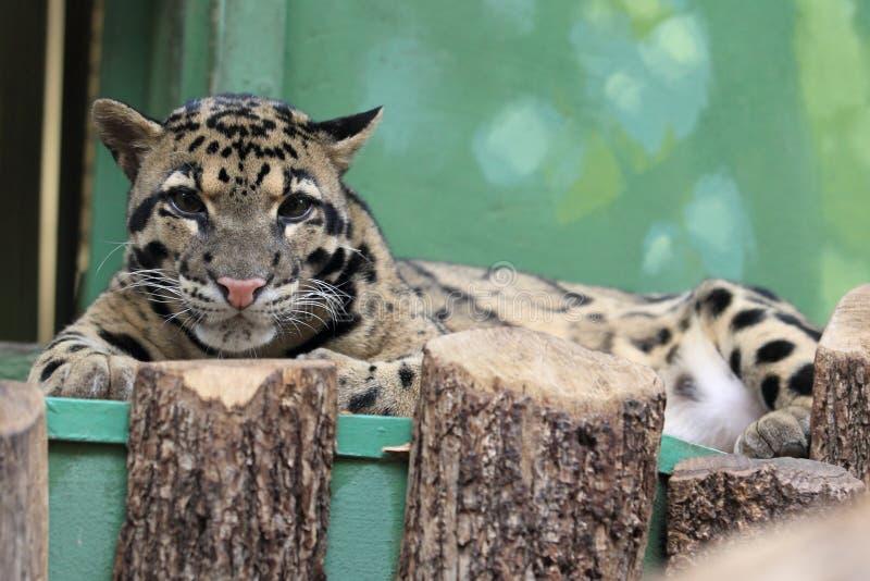 Leopardo nublado fotografía de archivo