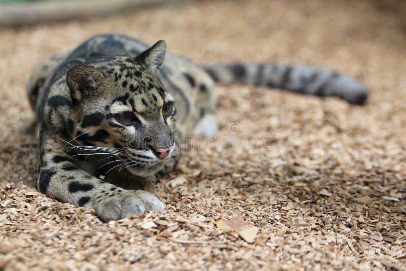 Leopardo nublado foto de stock royalty free