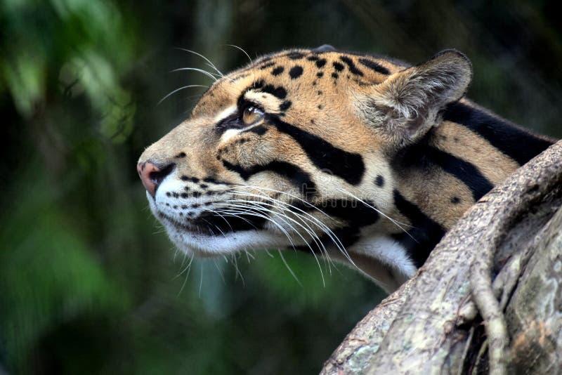 Leopardo nublado imagem de stock royalty free