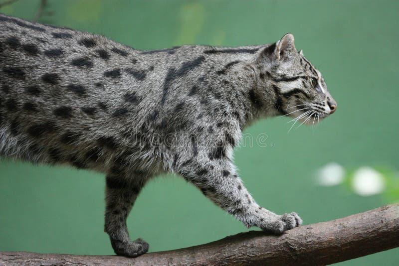 Leopardo nublado fotos de stock