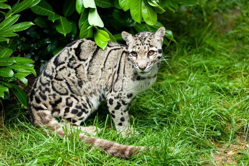 Leopardo nublado hembra que se sienta bajo Bush foto de archivo