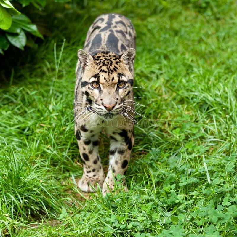 Leopardo nublado que está na grama imagem de stock royalty free