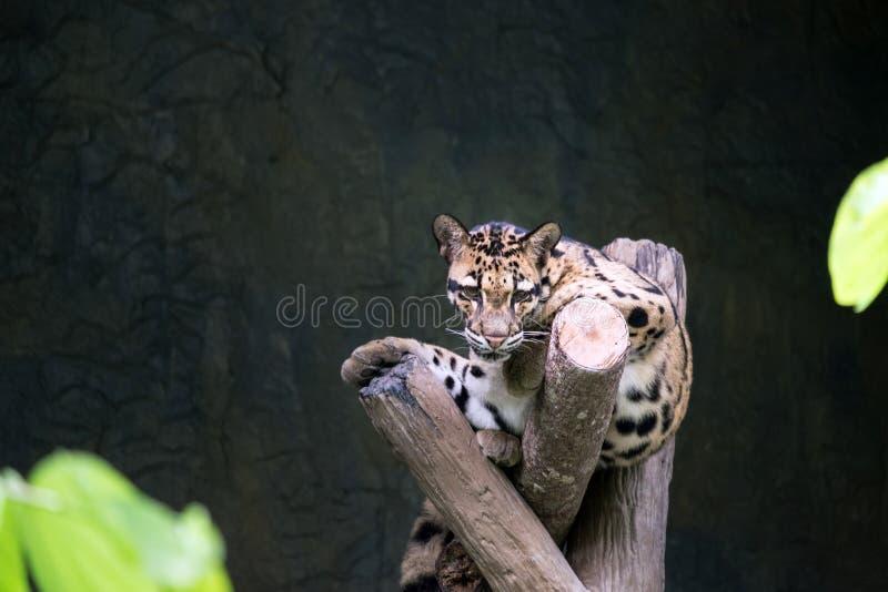 Leopardo nublado que miente en la rama imagen de archivo