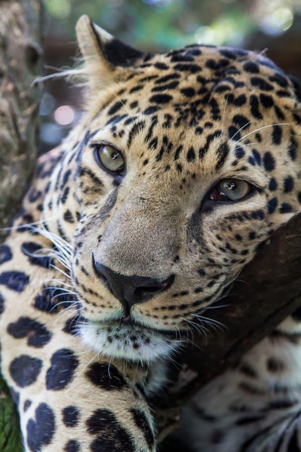 Leopardo pacifico, pantera, trovantesi sull'albero, primo piano, testa del leopardo fotografia stock