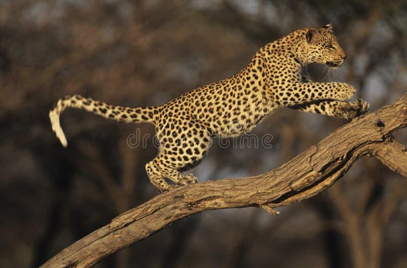 Leopardo (panthera Pardus) che sta sul ramo fotografia stock libera da diritti