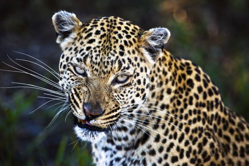 Leopardo (pardus del Panthera) fotografía de archivo libre de regalías