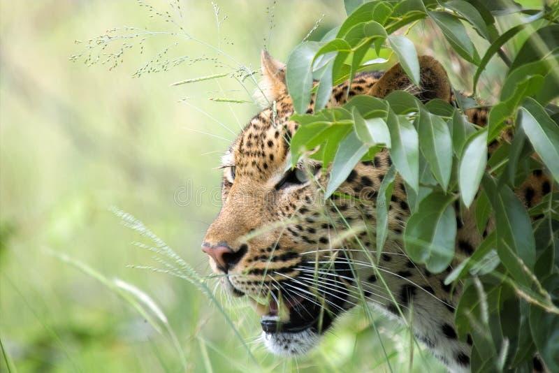 Leopardo (pardus del Panthera) imagen de archivo libre de regalías