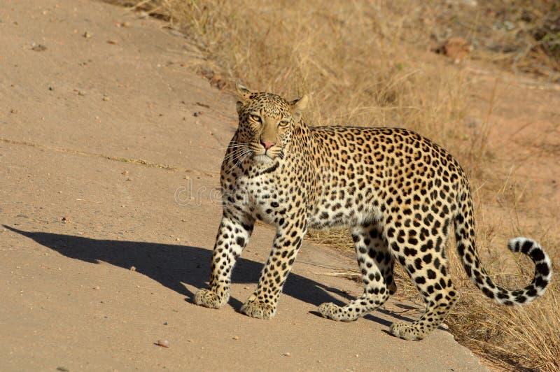 Leopardo (pardus del Panthera) foto de archivo libre de regalías