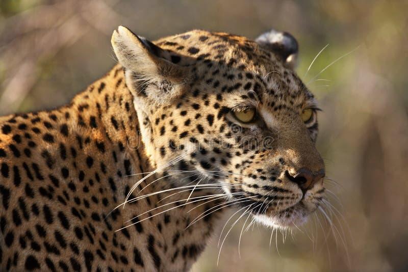 Leopardo (pardus) del Panthera - Botswana immagine stock libera da diritti