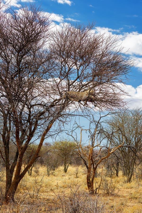 Leopardo - pardus del Panthera imagen de archivo libre de regalías