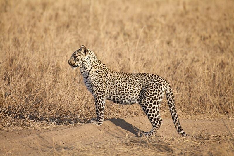 Leopardo (pardus della panthera) immagine stock libera da diritti