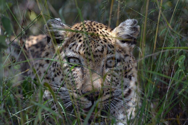 Leopardo (pardus della panthera) fotografie stock libere da diritti