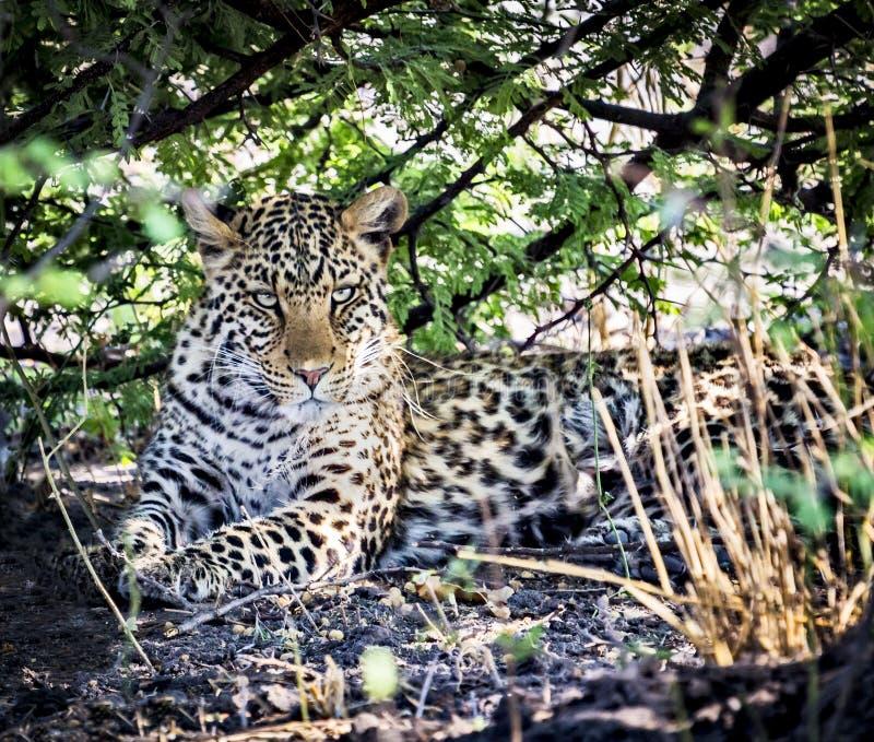 Download Leopardo (pardus Della Panthera) Immagine Stock - Immagine di aperto, allarme: 56887543