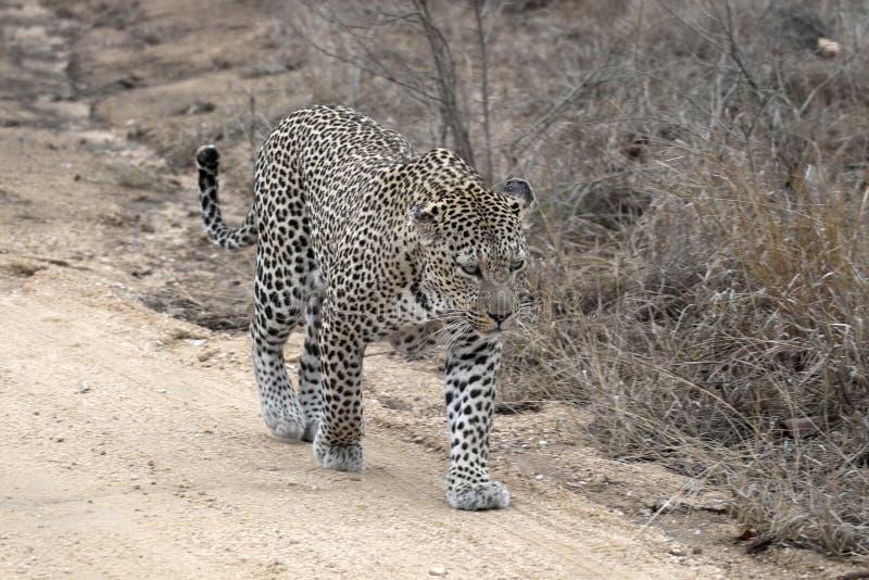 Leopardo (pardus della panthera) immagini stock