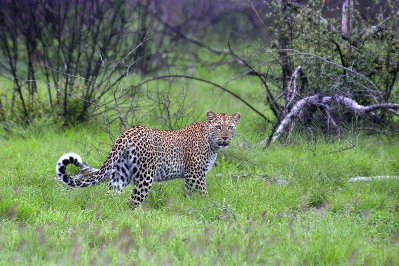 Leopardo (pardus della panthera) fotografia stock