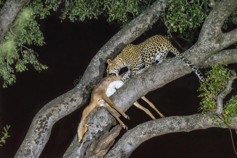 Leopardo, pardus della panthera, con la sua preda, in un albero fotografie stock libere da diritti