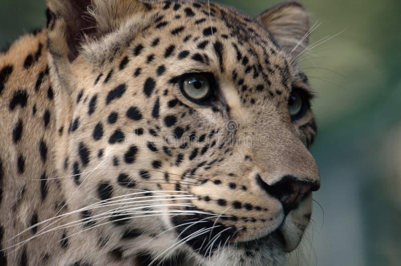 Leopardo (pardus do Panthera) imagem de stock