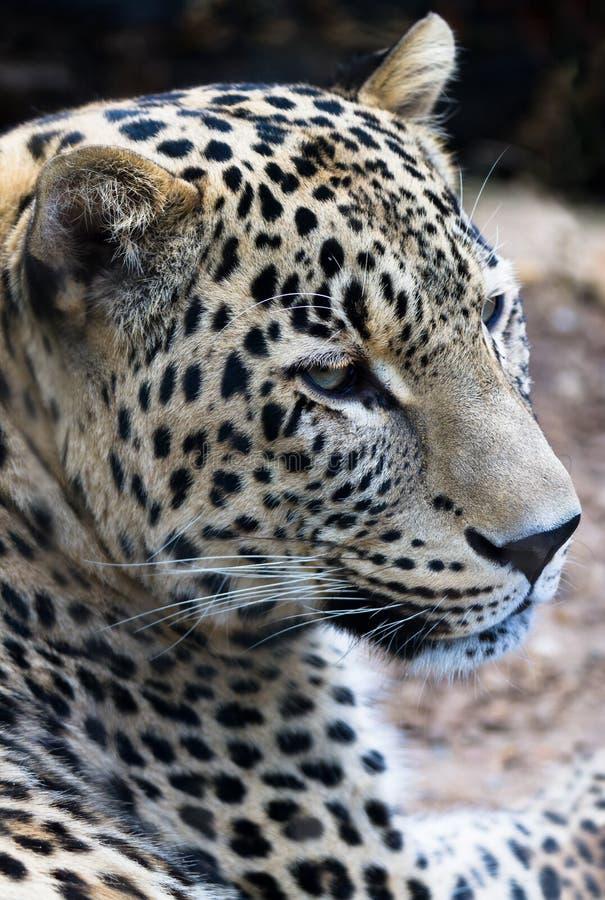 Leopardo persa fotos de archivo libres de regalías