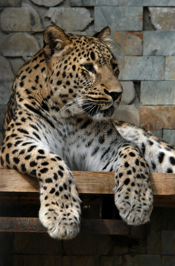 Download Leopardo persa foto de stock. Imagem de sadness, animal - 526824