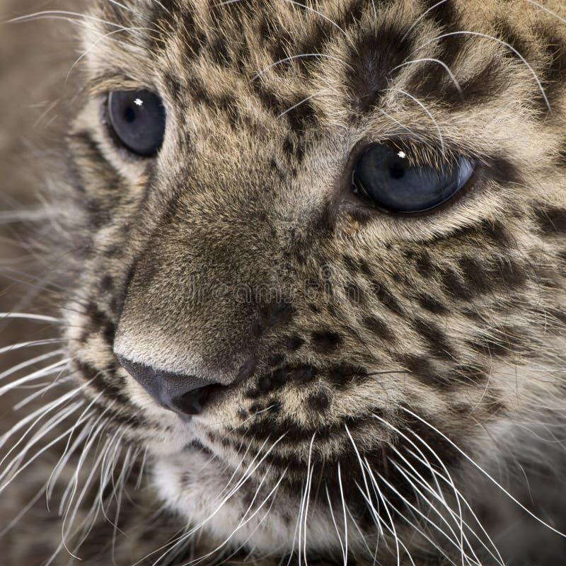 Leopardo persa Cub (6 semanas) foto de stock royalty free