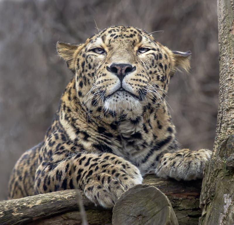 Leopardo persa de mentira imagenes de archivo