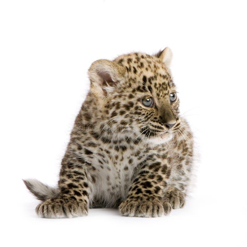Leopardo persiano Cub (2 mesi) fotografia stock libera da diritti