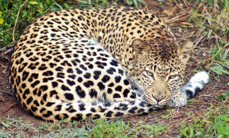 Leopardo preguiçoso fotografia de stock