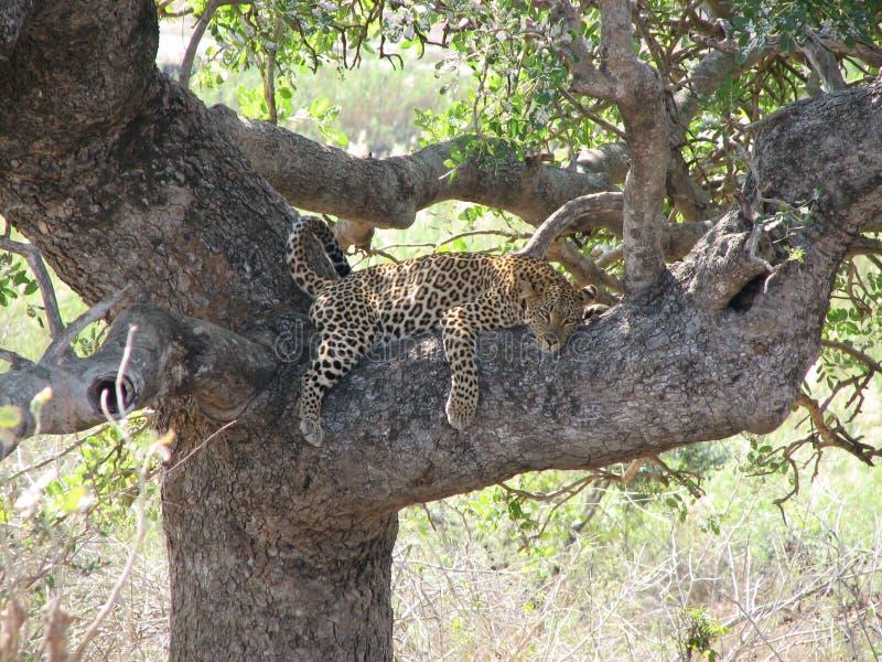 Leopardo preguiçoso fotografia de stock royalty free