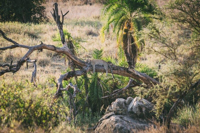 Leopardo preguiçoso foto de stock royalty free