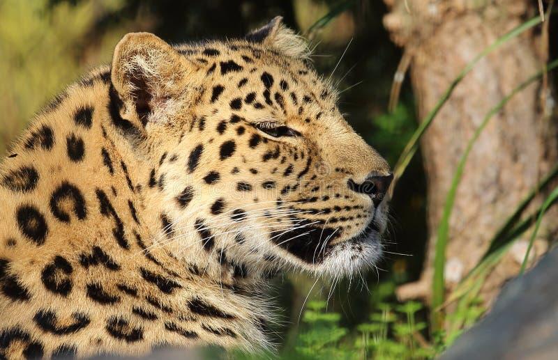 Leopardo preguiçoso foto de stock