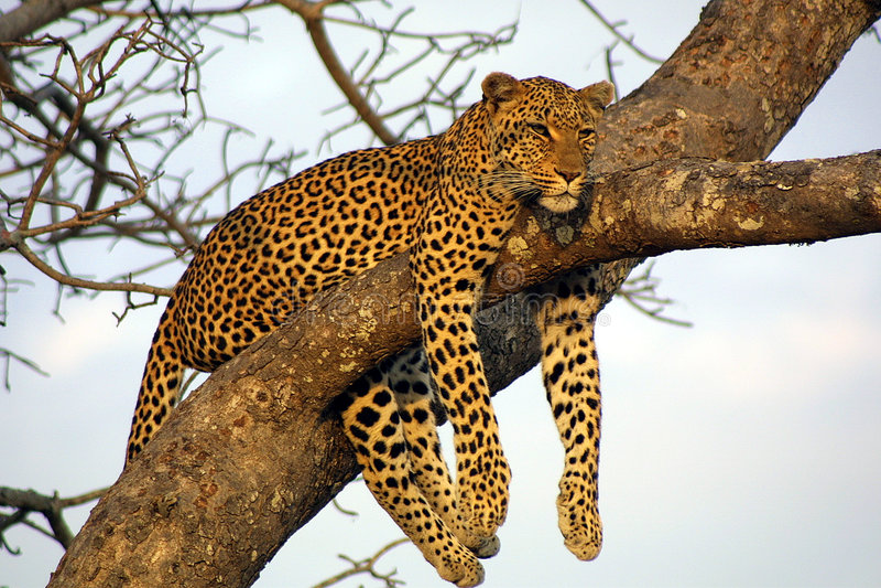 Leopardo preguiçoso de Lounging fotos de stock