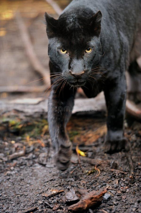 Leopardo preto fotografia de stock royalty free