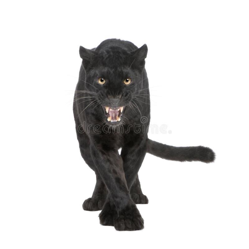 Leopardo preto (6 anos) foto de stock royalty free