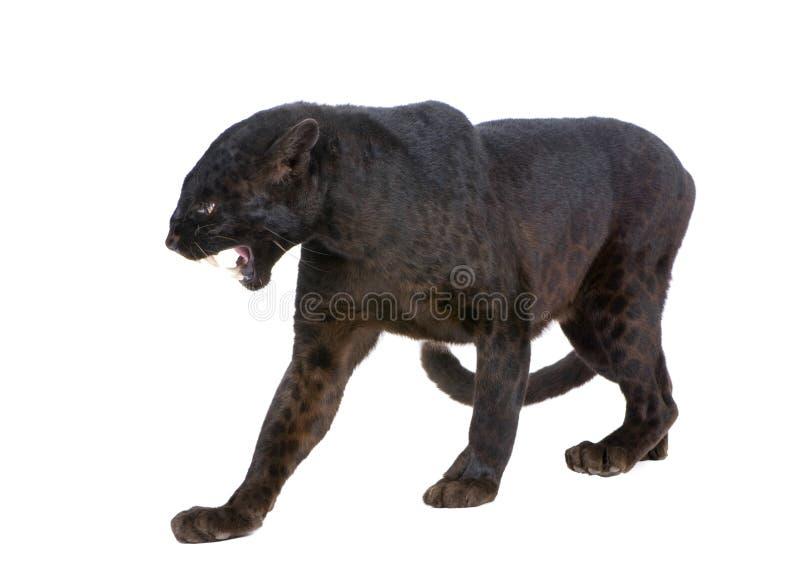 Leopardo preto (6 anos) fotos de stock royalty free