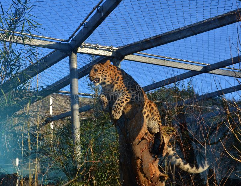 Leopardo pronto a cercare seduta all'albero fotografia stock