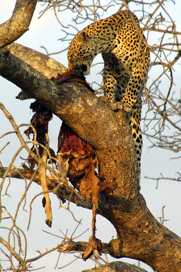 Leopardo que almuerza foto de archivo libre de regalías