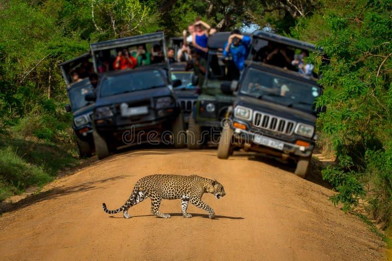 Leopardo que cruza a estrada na frente da audiência imagem de stock