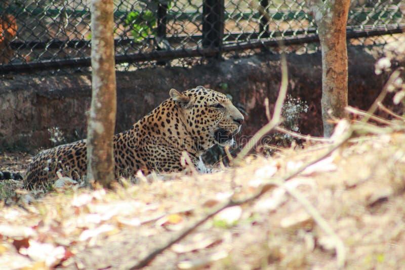 Leopardo que descansa en un parque zoológico imagenes de archivo