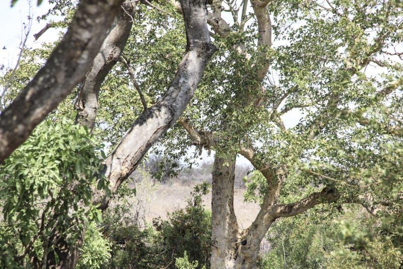 Leopardo que descansa sobre la rama de árbol, parque nacional de Kruger, Suráfrica imagen de archivo libre de regalías