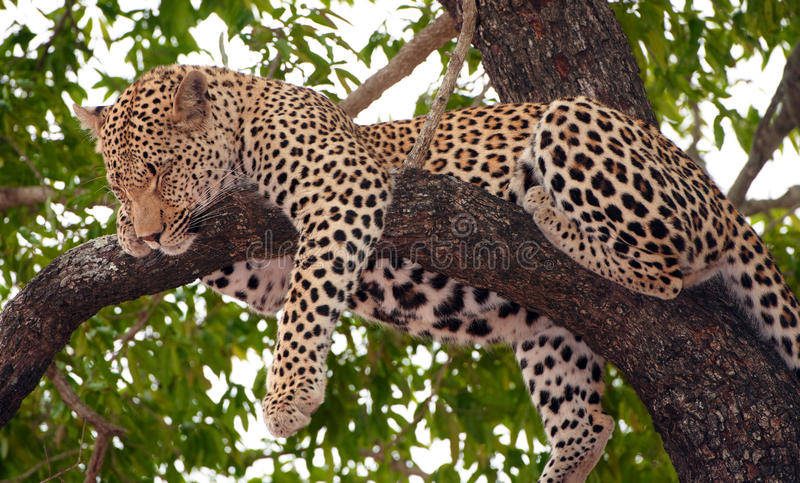 Leopardo que dorme na árvore foto de stock royalty free