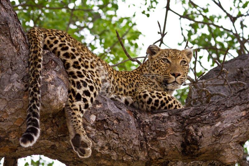 Leopardo que miente en árbol fotografía de archivo